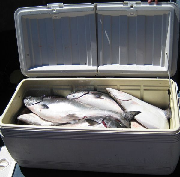 150 quart cooler full of salmon and halibut, June 27, 2008