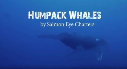 Humpback Whales from Ucluelet and Tofino BC